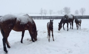 Miss Diva and the Take Charge Indy colt in Monday's snow.