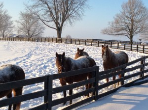 "Horses in the Monday snow, including ""Mint Hog"" Tinner's Way at far right."