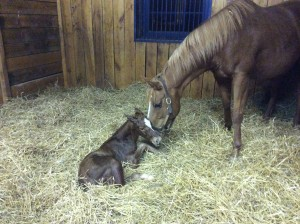 Alydarla and her Curlin filly born St. Patrick's Day.