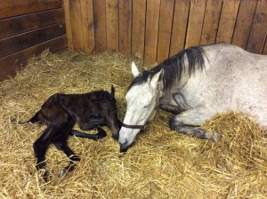 My Elusive Dream and her newly arrived Congrats colt.