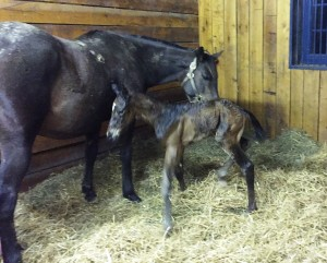 Miss Dixie Rose and her Warrior's Reward colt.
