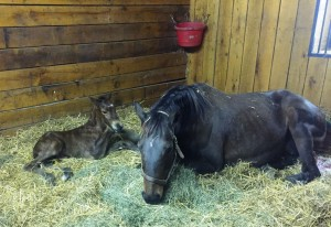 Orientatious and her Goldencents colt both rest after the effort of foaling.