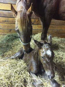 D'Chili Pepper and her filly by Old Fashioned