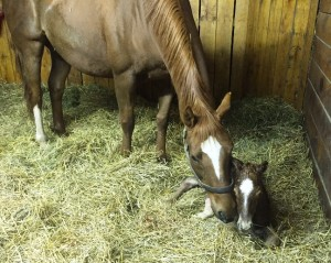 Bellezza Rosso loves her Goldencents colt.