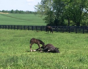Speaking of I'llgiveitawhirl 16, check out her Gemologist colt trying to nurse while she's still laying down!