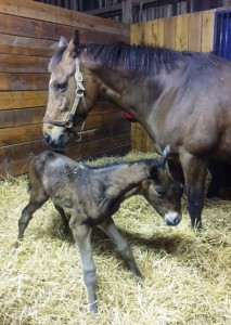 Malibu Gem's filly by Tizway getting her sea legs.