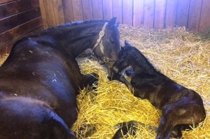 Miss Dixie Rose loving her Strong Mandate filly.