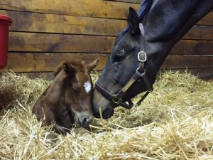 Orientatious and her Goldencents colt -- quite the looker!