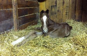 Goldencents / Rose Dela Troienne colt.
